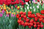 ������, ������: Tulip Beautiful bouquet of tulips