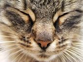 picture of tinkerbell  - tabby cat head with closed eyes close - JPG