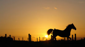 picture of running horse  - a horse running on the horizon during sunset - JPG