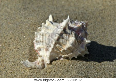 Spiked Seashell In The Sand