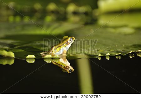 Green Paddy Frog Back On Waterlily