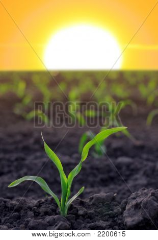 Increasing Corn On Agricultural Area