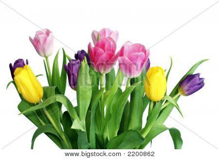 Varicoloured Spring Tulips