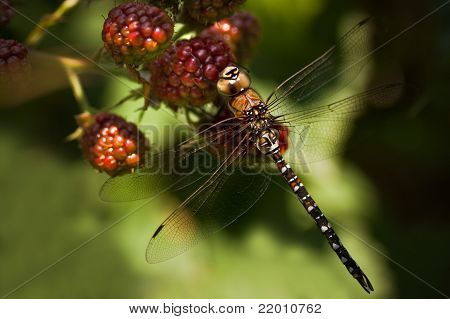 Dragonfly Migrant Hawker On Brambleberries