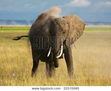 Dust bathing elephant