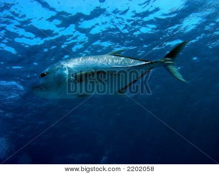 Hunting Giant Trevally