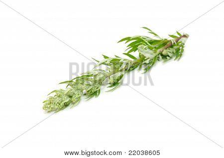 Common Wormwood (artemisia Vulgaris) Isolated On White Background