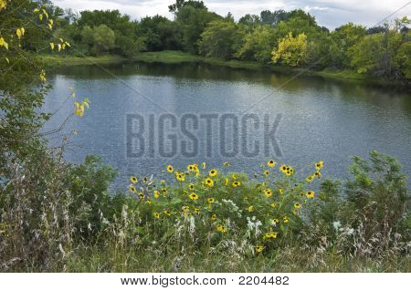 Sunflowers On A Pond
