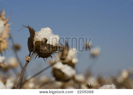 Cotton Ready To Pick