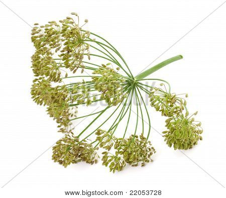 Big Bunch Of Dill Seeds