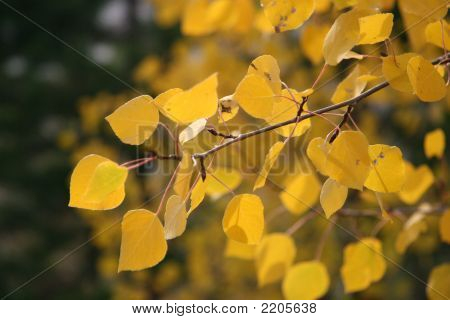 Aspen Leaves  Fall Foliage Close Up