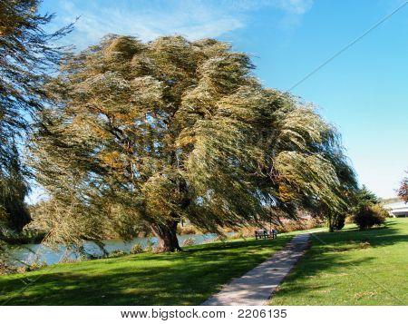 Williow Tree