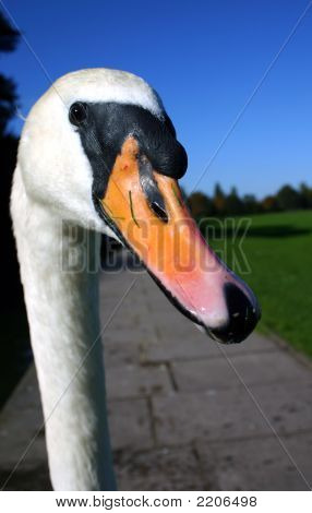 Whooper Swan Head And Neck
