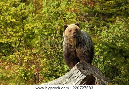 Ursus arctos. Brown bear. The photo was taken in Slovakia. The brown bear is found throughout Europe. Beautiful bear image. Nature of Slovakia. Wild nature. Free nature. From the life of the bears. Nature. Forest. Autumn nature of Europe. Europe. poster