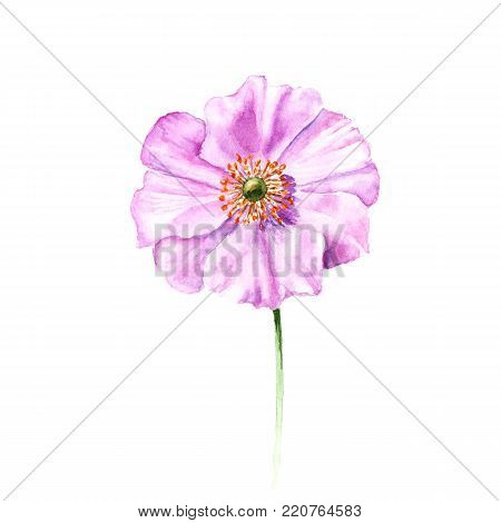 poster of Watercolor anemone flower. Hand drawn single flower isolated on white background. Artistic floral element. Botany illustration