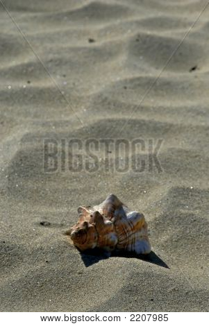 Dry Beach Shell Poster