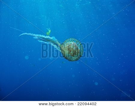 Wild Jelly Fish Floating In Ocean