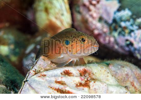 Fish Under Water On Bivalve Mollusk In Sea Of Japan