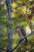 Red Shouldered Hawk Buteo Lineatus Hunts For Prey poster