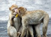 foto of baby-monkey  - A portrait of two baby baboons pictured kissing each other - JPG