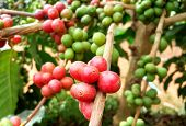 Arabica Coffee Tree With Coffee Bean In Cafe Plantation.  Coffee Beans Young And Ripening On Tree In poster