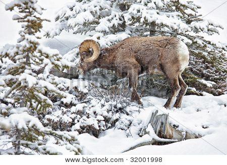 Bighorn sheep foraging on a snowy mountain hillside in Jasper National Park, Alberta,Canada.