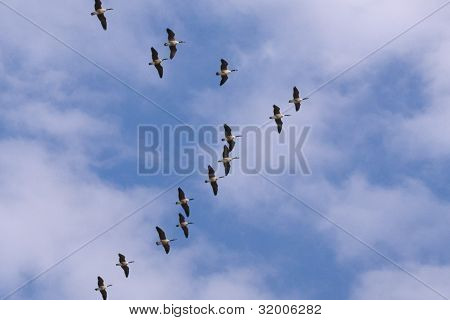Canda Geese Flying In A V Formation