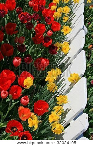 Red and Yellow Tulips with Fence