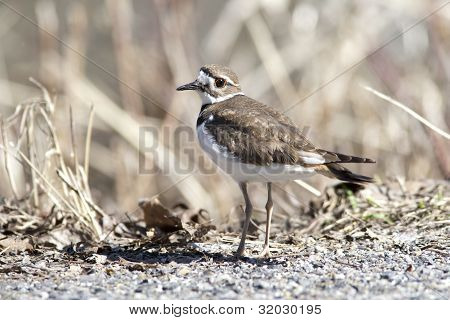 Killdeer By Weeds.