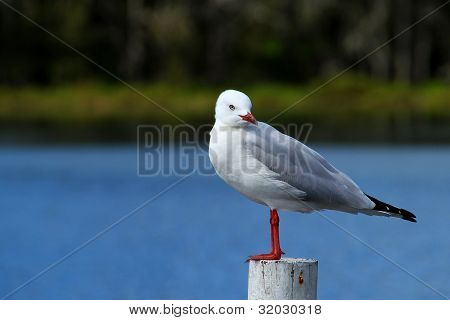 Sea gull standing on a white post