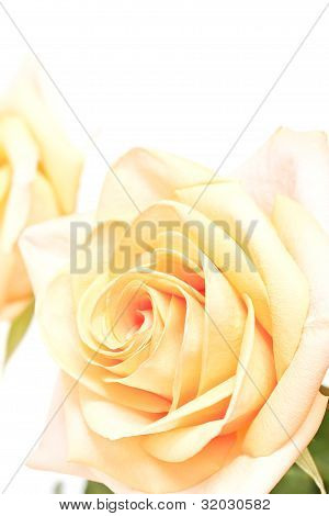 Yellow roses with green leaves on white background