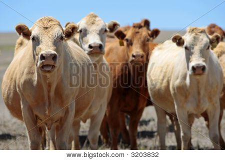 Country Cows With Attitude