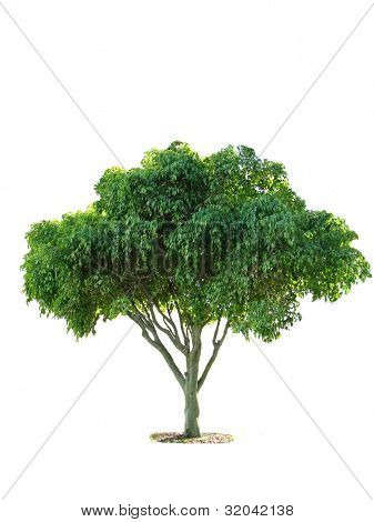 Young Fig Tree isolated on white