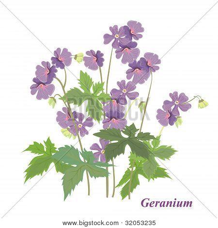 Bush Geranium
