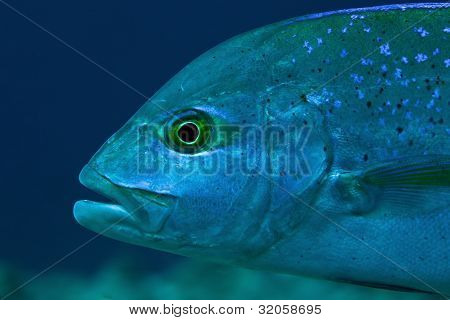 Portrait Of Bluefin Trevally (caranx Melampygus), Maldives