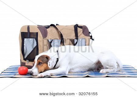 Jack Russel Terrier With A Carrying Bag