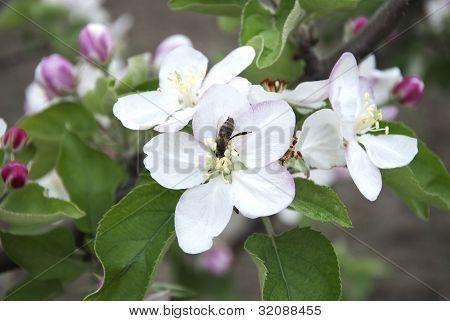 Pollinating Apple Blossom