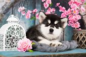 Alaskan Malamute puppy; black and white puppy with long fluffy hair poster