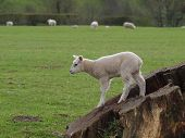 stock photo of spring lambs  - Playful spring lamb standing on tree stump in meadow