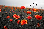 Beautiful Poppies On Black And White Background. Flowers Red Poppies Blossom On Wild Field. Beautifu poster