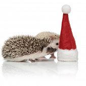 sideview couple of two curious hedgehogs inspecting a christmas hat, standing side by side on white  poster