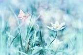 Dreamy White Spring Anemone Flower Bloom, Grass, Butterfly Closeup. Spring Floral Greeting Card Temp poster