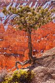 Pinyon Pine Tree Bryce Canyon National Park poster