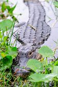 stock photo of gator  - Alligator closeup in wild in Gator Park in Miami - JPG