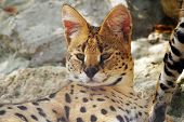 Servals Resting On Stones In The Zoo poster