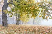 Beautiful Park Scene In Fog. Trees With Orange And Yellow Foliage, Ground Covered With Dry Fallen Fo poster