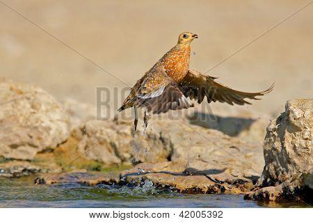 Sandgrouse In Flight