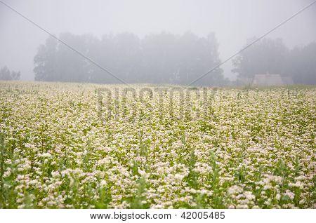 Campo de trigo mourisco florescimento e nevoeiro de manhã de Verão