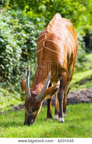 Bongo Eating Grass