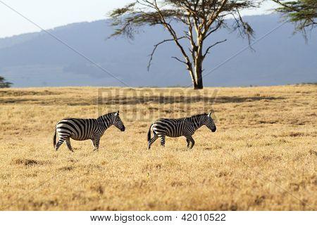 Two zebras photographed near Lake Naivasha, Kenya.